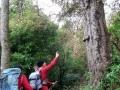 Big Miro tree
